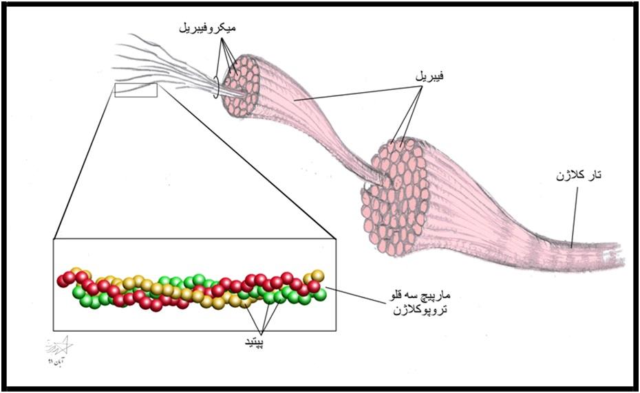 ساختار کلاژن