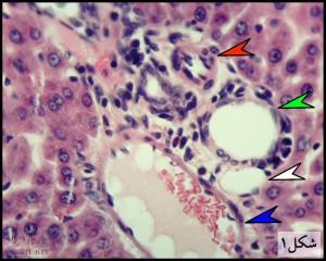liver-fig-1