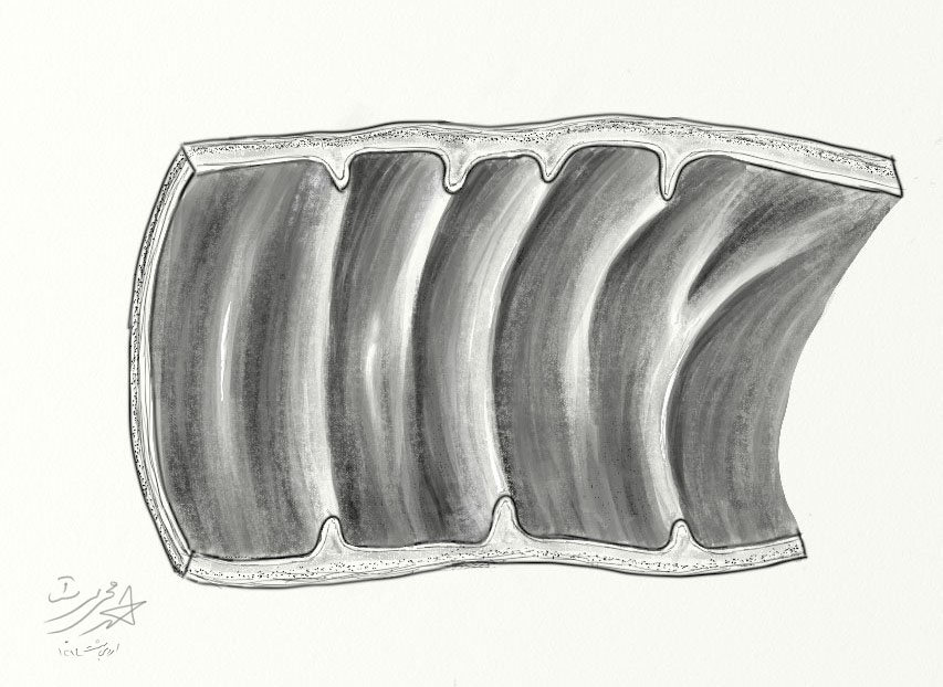 plicae circulares
